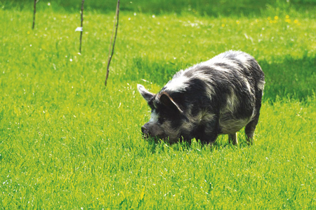 Pig at St Catherine's Farm