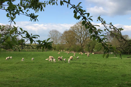 Sheep on St Catherine's Farm